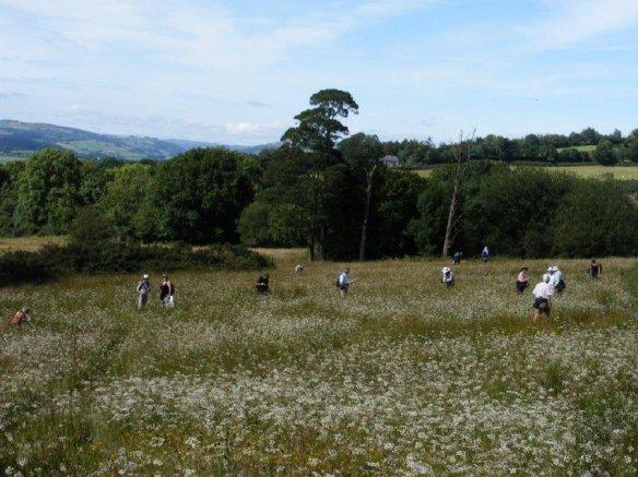 BSBI visit to whorled caraway field in 2008 (2)