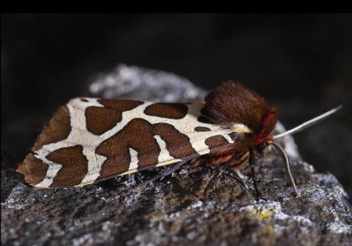 l-garden-tiger1 (2)