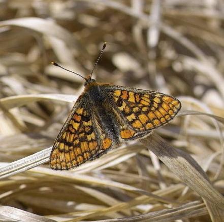 l-marsh-fritillary-b (2)