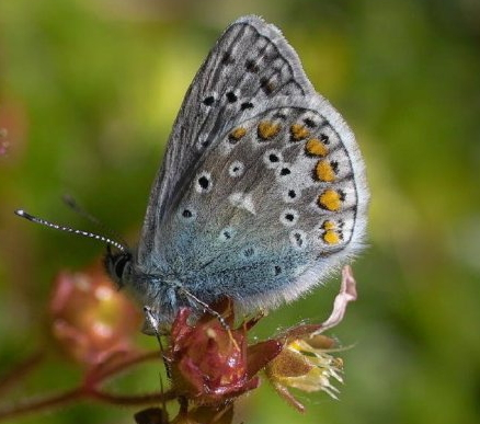 l-common-blue-b (2)