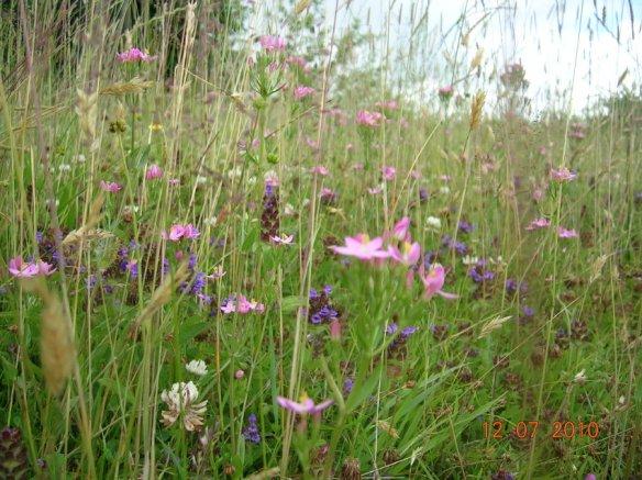 Wild Flowers 2010003 (2)