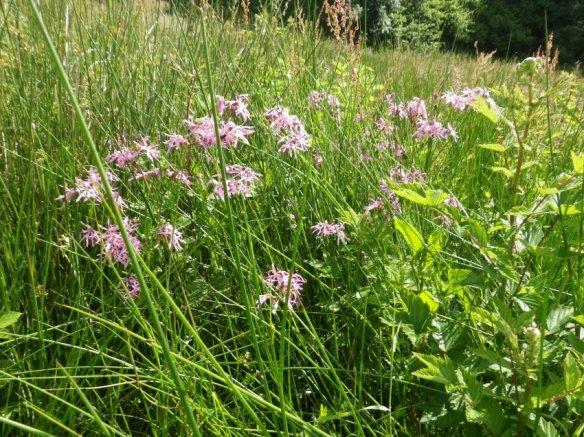 Wild Flowers at Maes yr Haul011 (2)