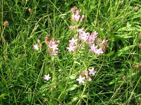Wild Flowers at Maes yr Haul027 (2)