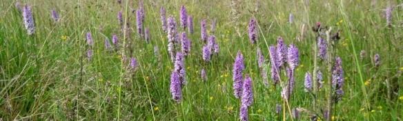 exmoor pony grazed meadow.a jpg (2)