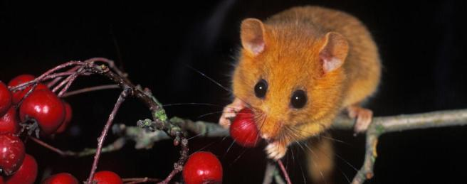 003218 hazel dormouse eating hawthorn berries (2)