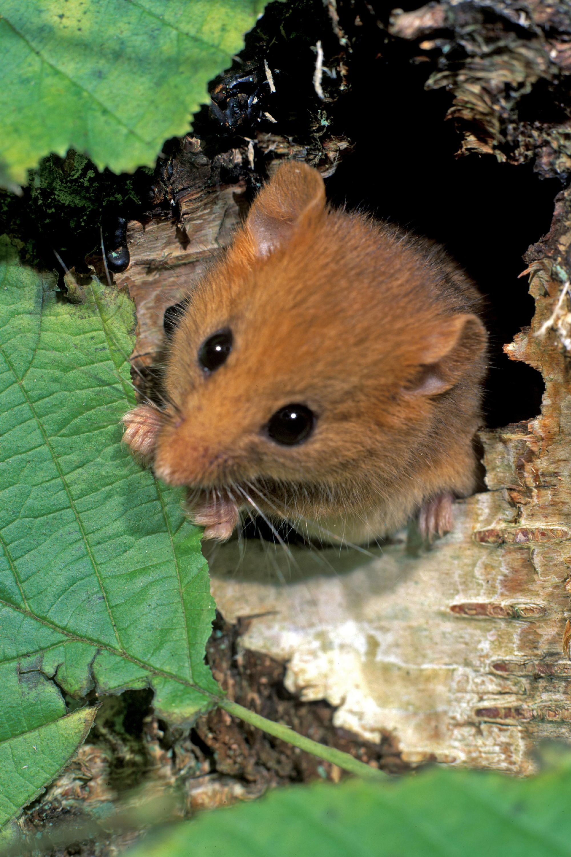 I found two websites offering these tubes and also giving useful information as to when where and how to use them & Dormice and Harvest Mice in Carmarthenshire? Recent Meadow ...