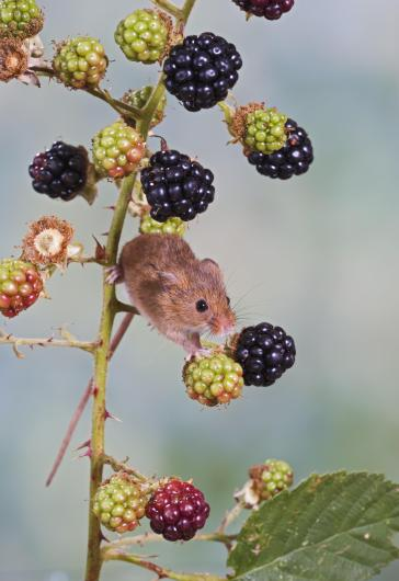 Harvest mouse - on blackberries Bedfordshire UK 005864