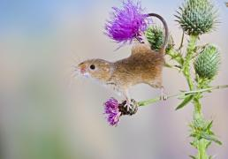 Harvest mouse - upright on thistle using tail to grip Bedfordshire UK 005870