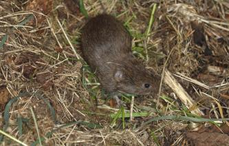 Short tailed field vole (Microtus agrestis) moving over ground